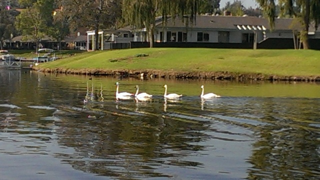 Lake San Marcos Trumpeter Swans